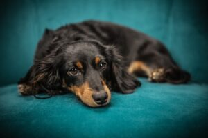 mold carpet cleaning for dog